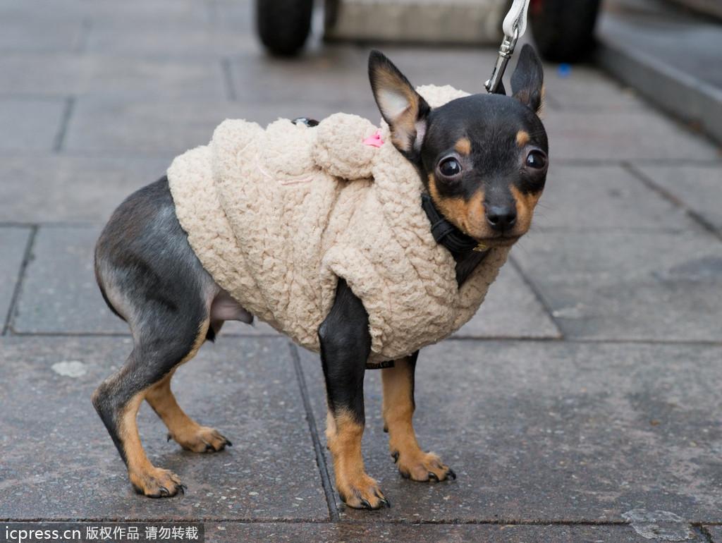 小动物们也不例外,一个个傲娇地套上毛衣和帽子
